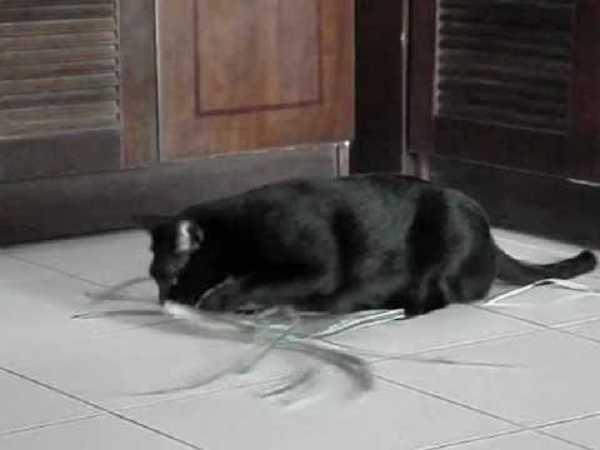 Điềm báo khi mèo vào nhà