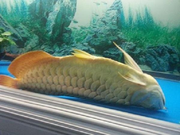 Cá chết có điềm báo gì? tốt hay xấu?