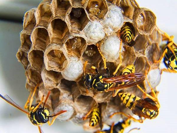 Ong ruồi làm tổ trong nhà là điềm tốt hay xấu?