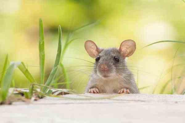 Chuột kêu là điềm báo gì