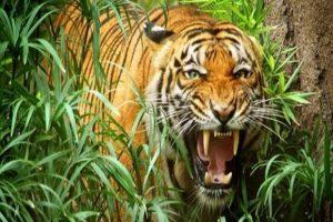 Mơ thấy Hổ là điềm báo gì ? Mơ thấy hổ đánh con gì ?