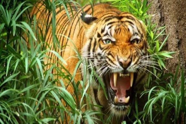 Mơ tháy cọp ( hổ ) gầm