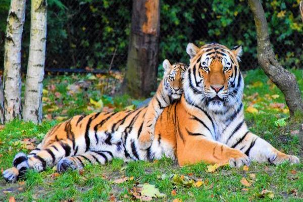 Mơ thấy Hổ là điềm báo gì